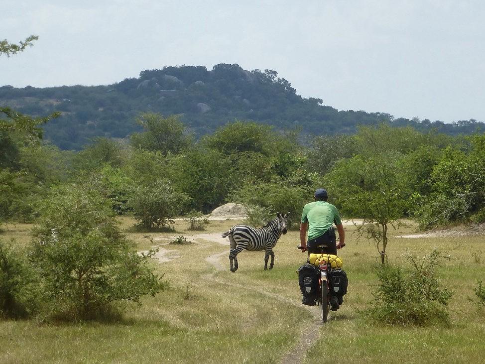 Fietser en zebra in nationaal park Oeganda