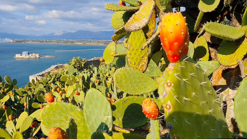 cactusveld in Nafplion Griekenland