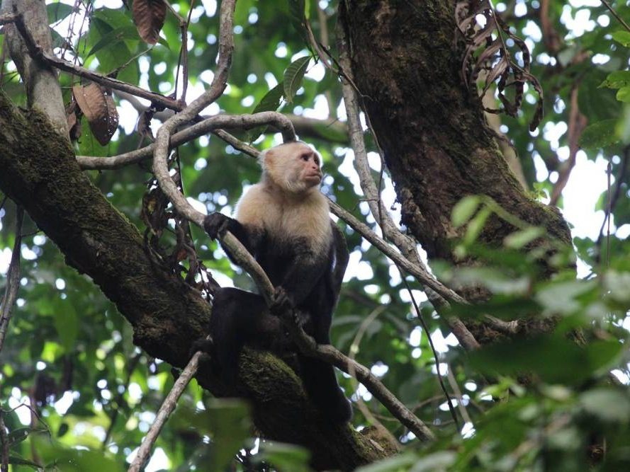Aapje in boom op Costa Rica