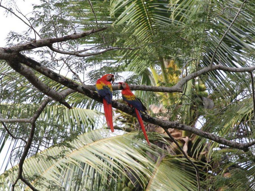 Papegaaien in boom op Costa Rica