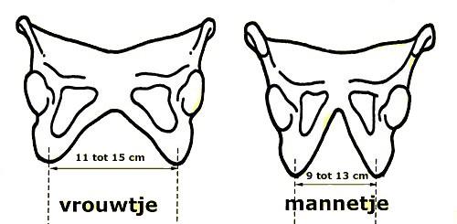 Het gemiddelde verschil in zitbotjes tussen mannen en vrouwen, in centimeters